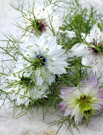 калинджи цветы